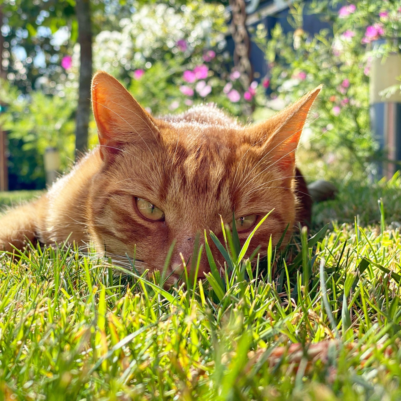 Jack the ginger cat is looking at the camera as he is lying down flat on the green grass with summer flowers in bloom behind him