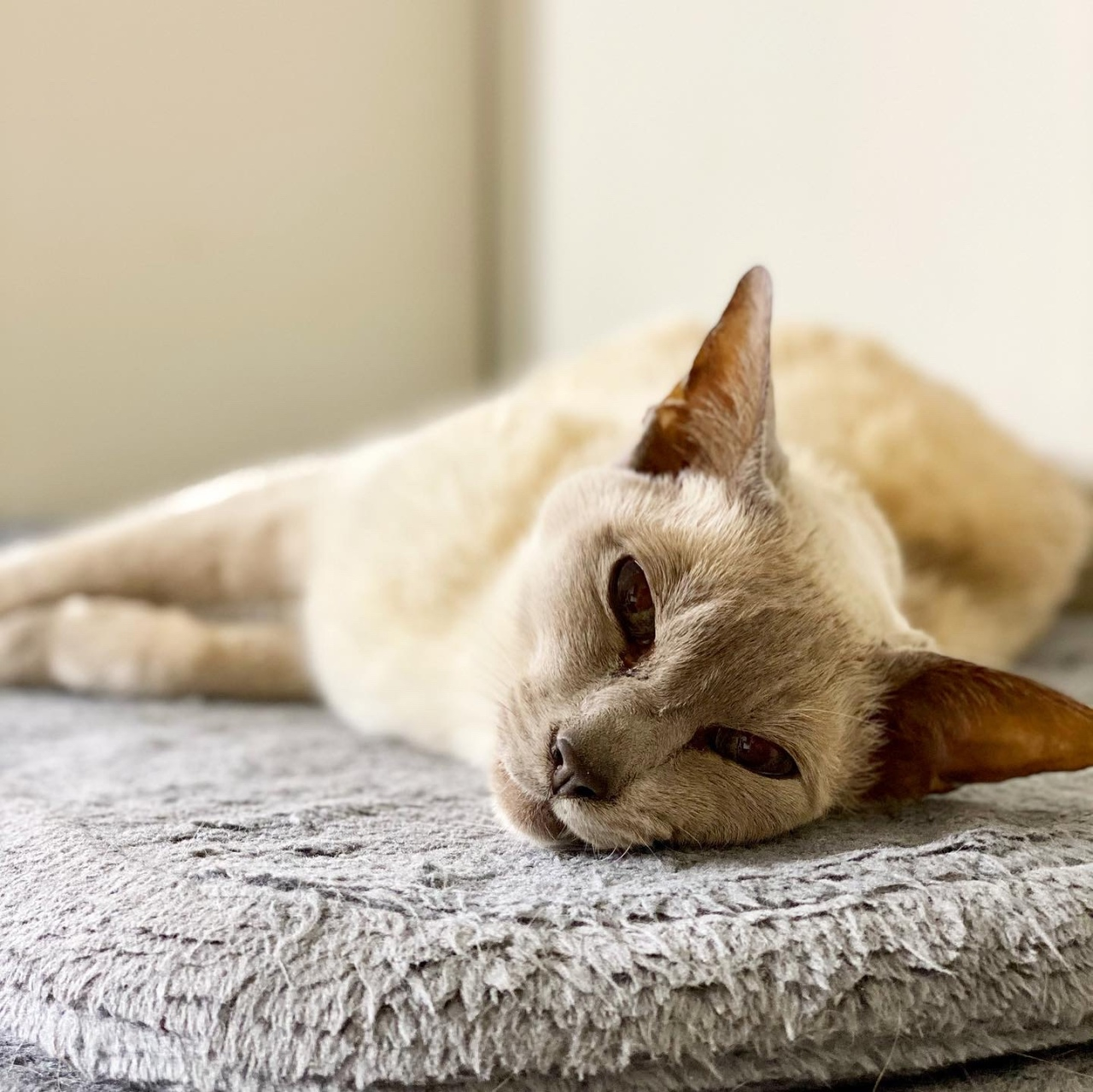 Sissy the lilac point Tonkinese cat looks lovingly at the camera as she lays on her side on her scratching post