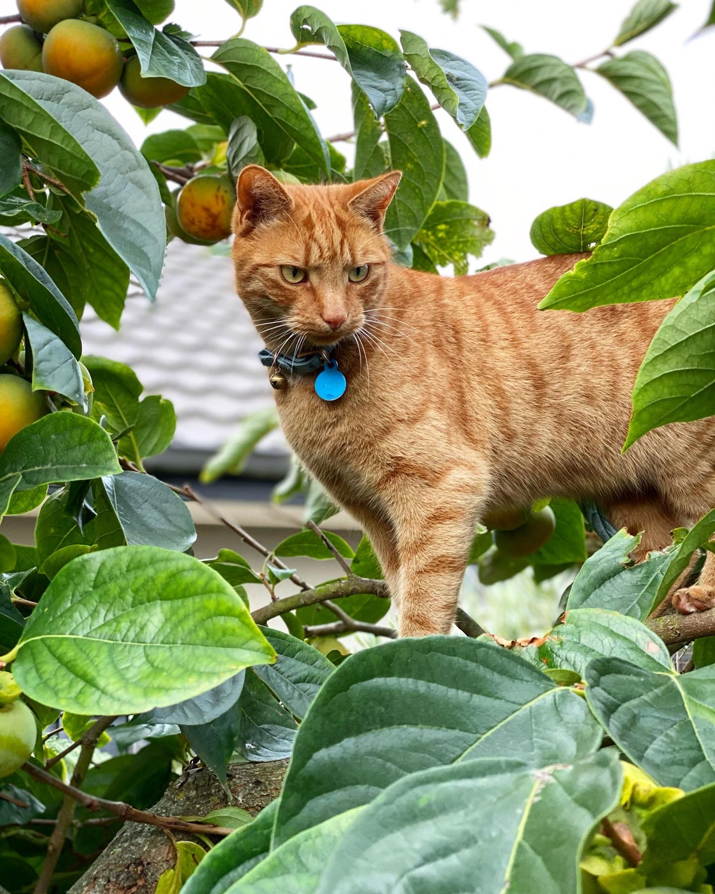 Jack the ginger cat stands on a branch in the persimmon tree with ripe fruit around him