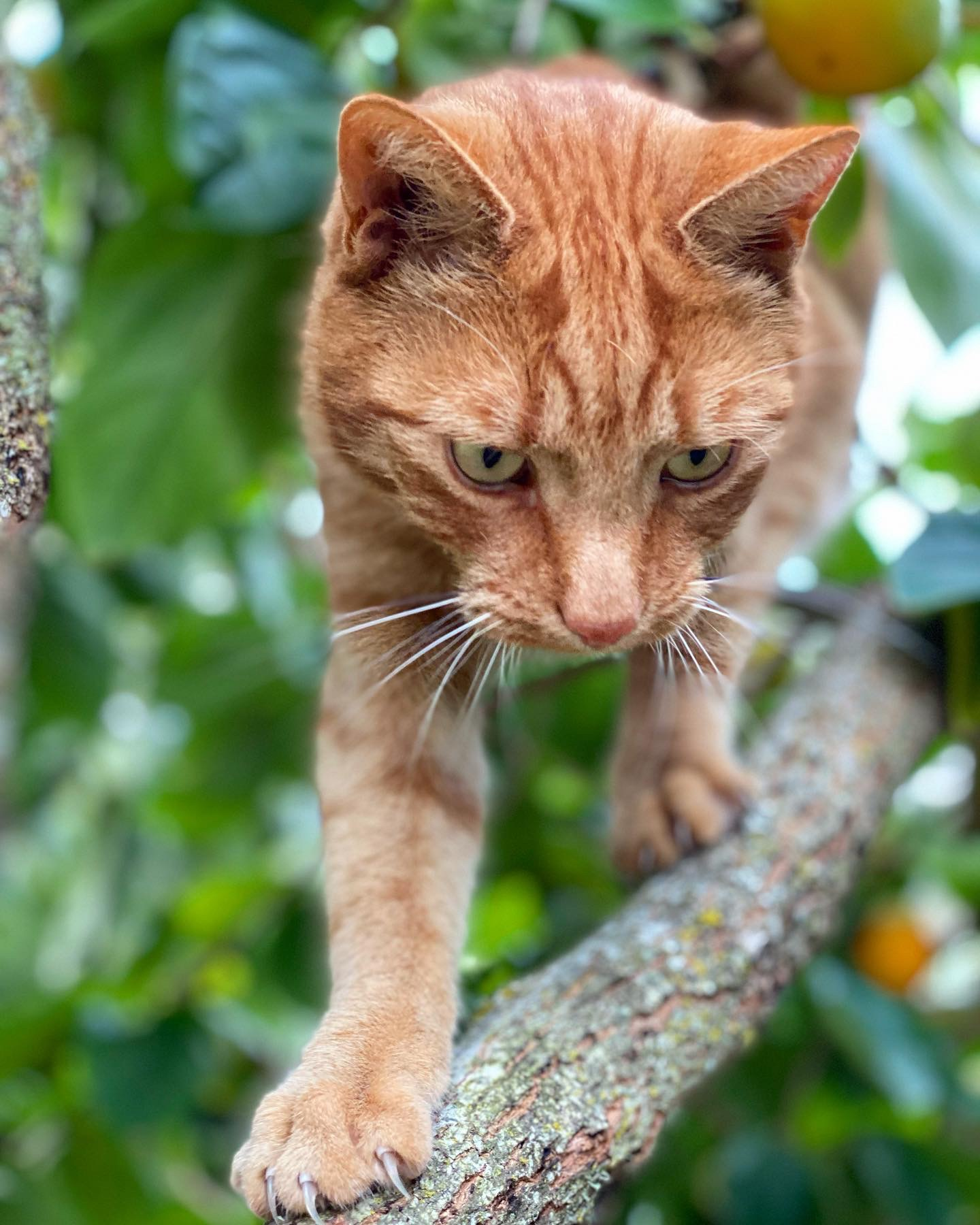 Jack the ginger cat stands on a branch in the persimmon tree with ripe fruit behind him