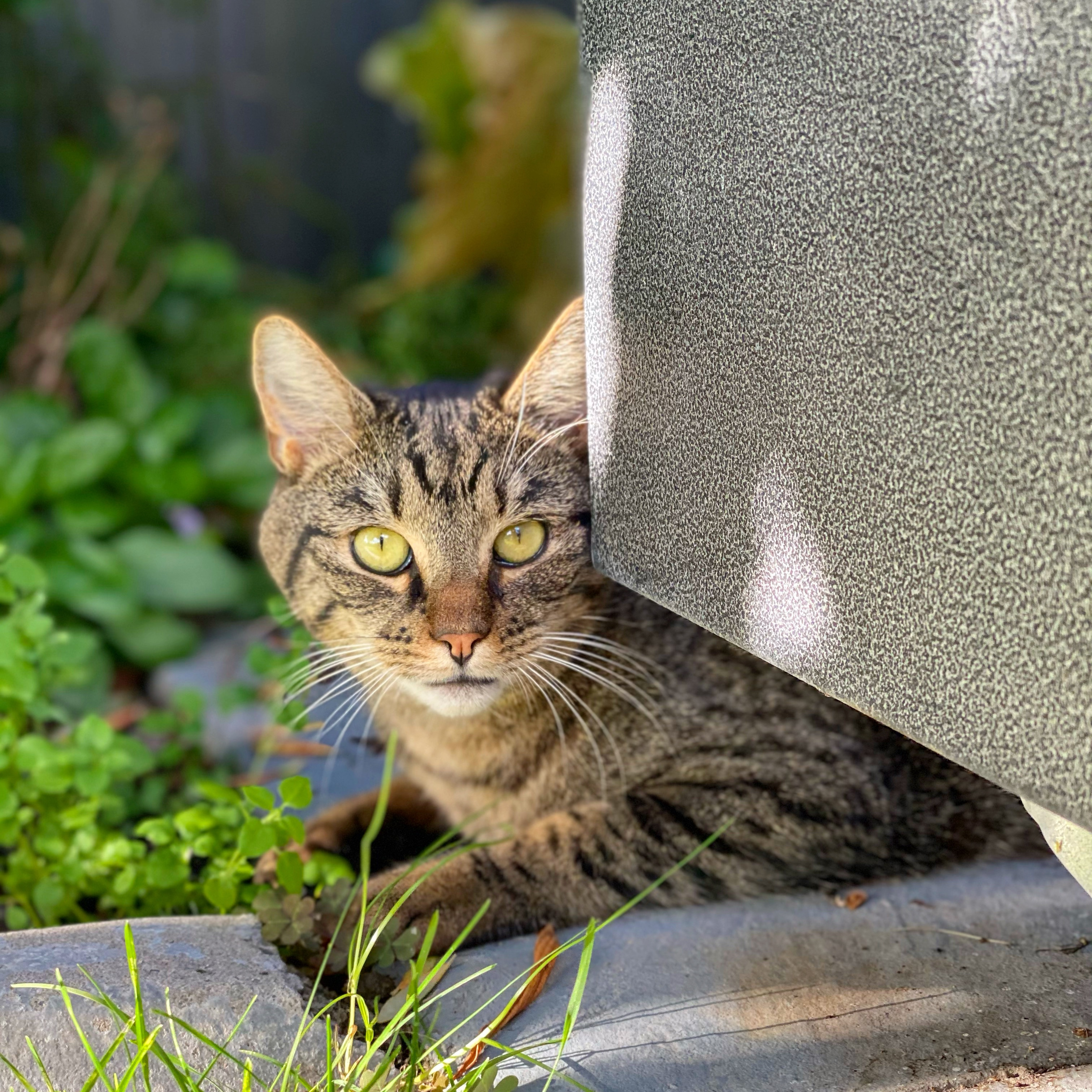 Ginny the tabby cat, lying on the garden next to the concrete curbing and the planter box on the patio
