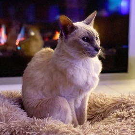 Sissy the lilac point Tonkinese cat sitting in front of the new fireplace
